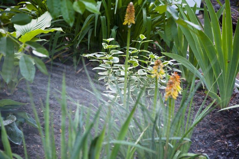Kniphophia igualmente chamou o tritoma ?gua para a flor do canteiro de flores do knofofiya Mola Natureza e ambiente jardim molhan foto de stock