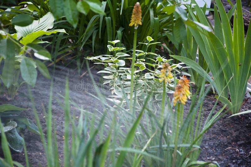 Kniphophia tak?e nazwany tritoma woda dla kwiatu knofofiya flowerbed Wiosna Natura i ?rodowisko podlewania lata ogr?d zdjęcie stock