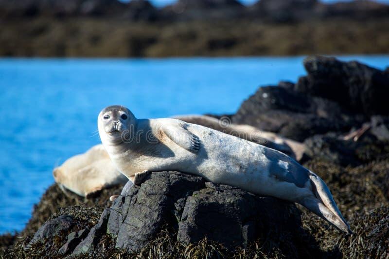 Knipogend, ontspannen verbinding op steen in IJsland stock foto's