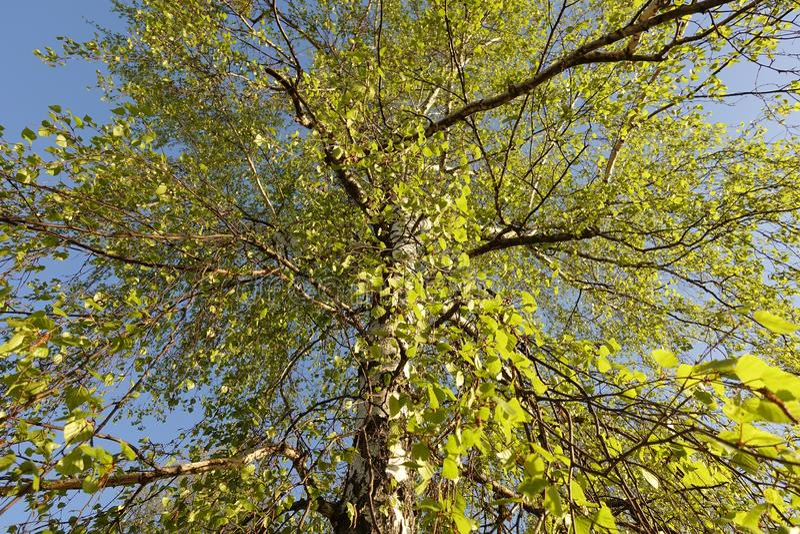 Knippend inbegrepen weg Berkboom met mooie nieuwe bladeren royalty-vrije stock fotografie