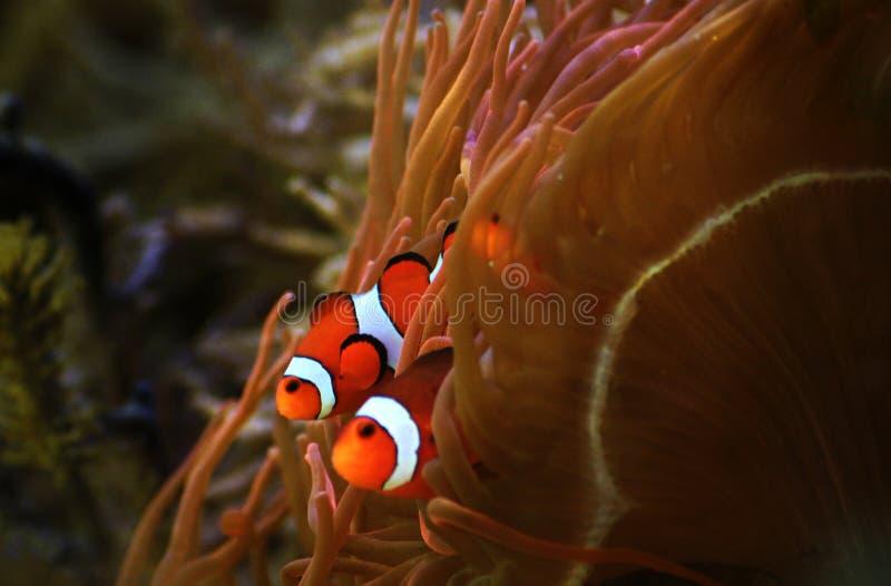 Knipvis van de beroemde film van de Pixar van Disney Vinden Nemo royalty-vrije stock foto