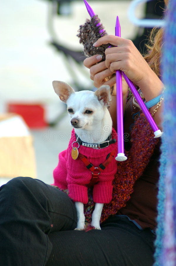 Knitting Dog. Chihuahua wereing a sweater sitting on a knitting womans lap royalty free stock image