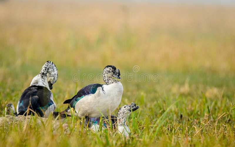 Knob-billed ducks. The knob-billed ducks (Sarkidiornis melanotos), or comb duck at Bharatpur, Rajasthan, India royalty free stock photography