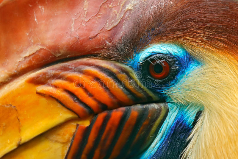 Knobbed Hornbill, Rhyticeros cassidix, from Sulawesi, Indonesia. Rare exotic bird detail eye portrait. Big red eye. Beautiful jung. Le bird royalty free stock image