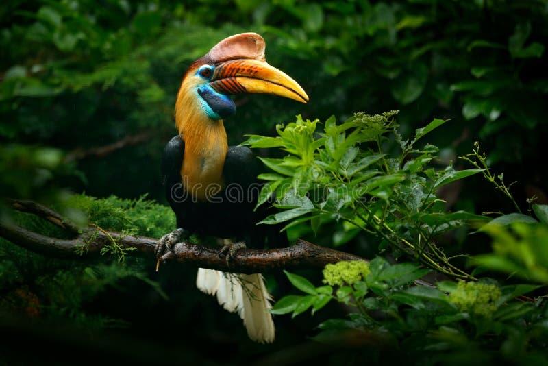 Knobbed Hornbill, Rhyticeros cassidix, van Sulawesi, Indonesië Zeldzaam exotisch het oogportret van het vogeldetail Groot rood oo stock afbeeldingen