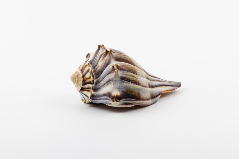 Download A knobbed whelk. stock image. Image of shells, seashells - 26830871