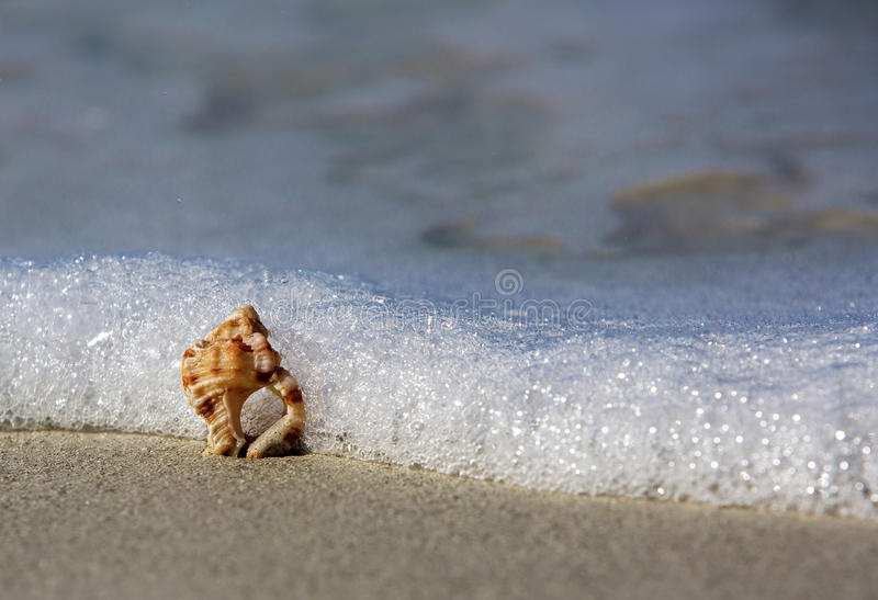 Download Knobbed Whelk Shell stock photo. Image of surf, water - 30031234