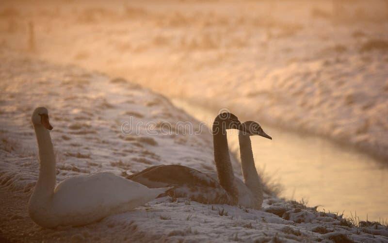 Knobbelzwaan, cisne mudo, olor del Cygnus imagenes de archivo