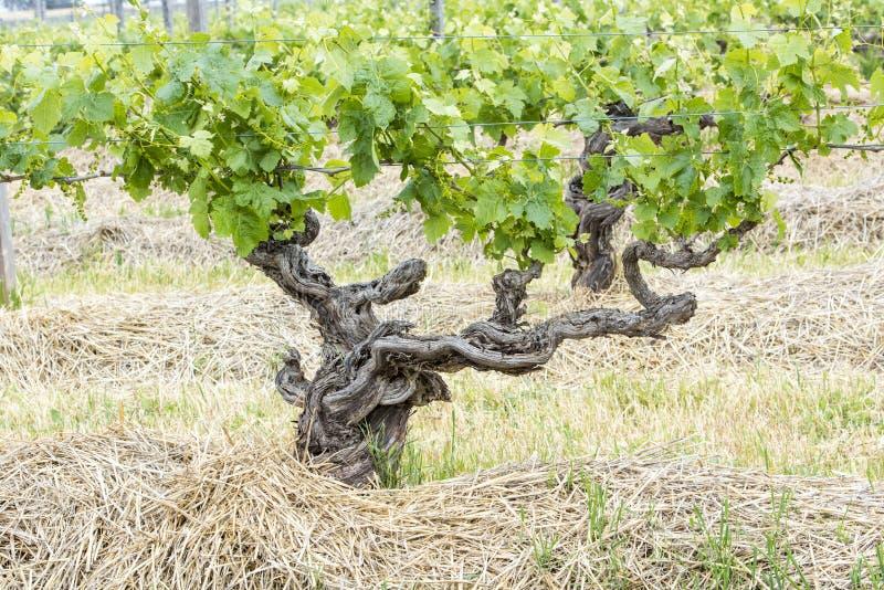 Knobby Grapevine. Gnarly grapevine, Barossa Valley, Australia royalty free stock photo
