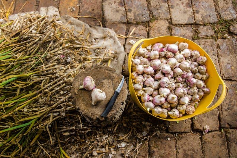 Knoblauch auf dem Bauernhof ernten, trocknend und verarbeitend stockbild