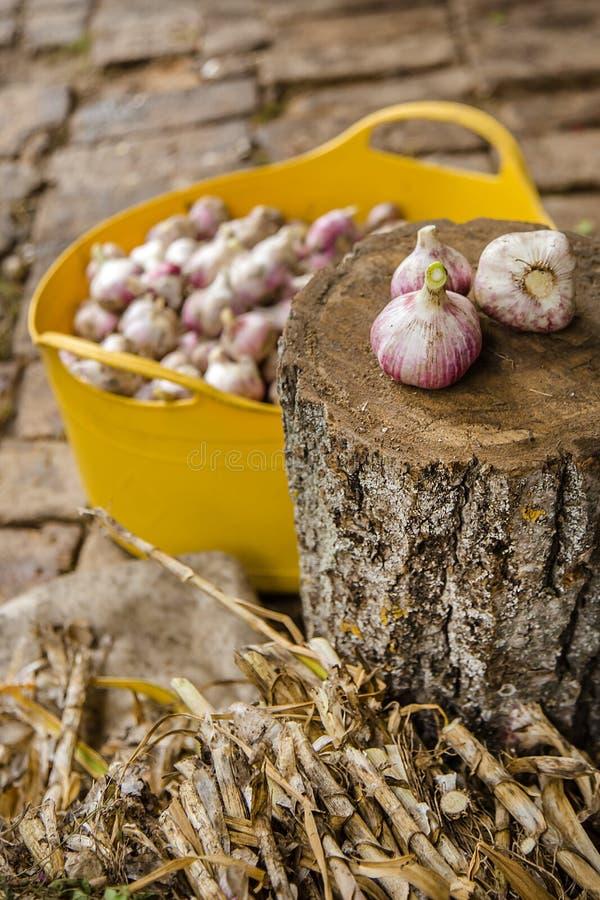 Knoblauch auf dem Bauernhof ernten, trocknend und verarbeitend stockfotos