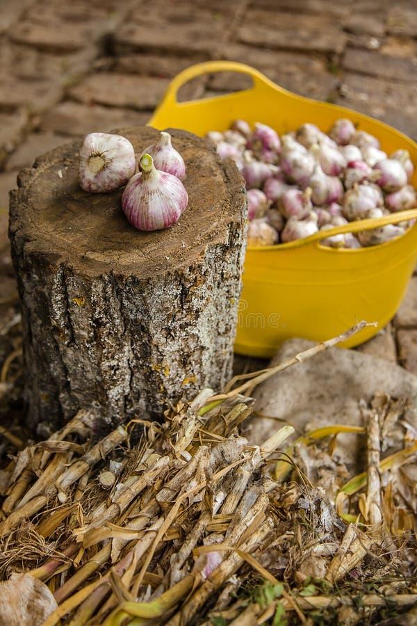 Knoblauch auf dem Bauernhof ernten, trocknend und verarbeitend lizenzfreies stockbild
