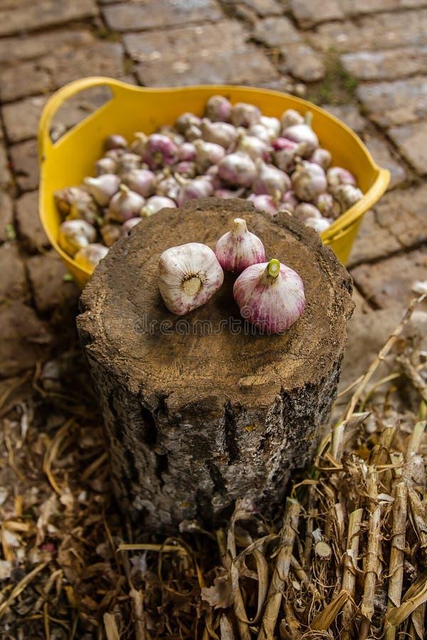 Knoblauch auf dem Bauernhof ernten, trocknend und verarbeitend stockbilder