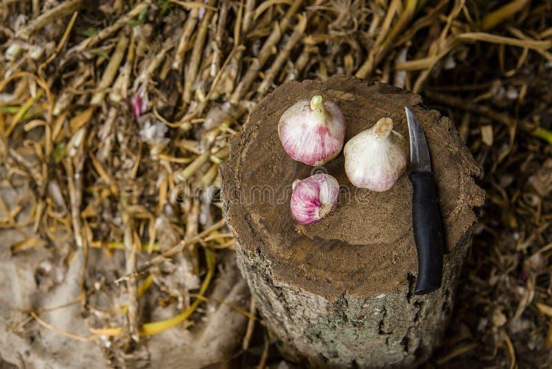 Knoblauch auf dem Bauernhof ernten, trocknend und verarbeitend lizenzfreie stockfotografie