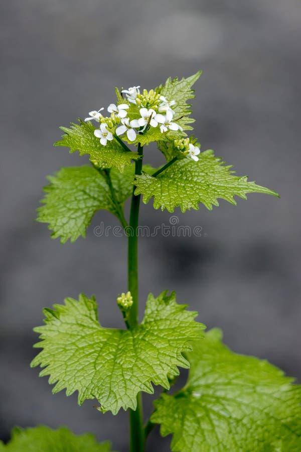 Knoblauch-Senf-Blüte im Frühjahr stockfotografie