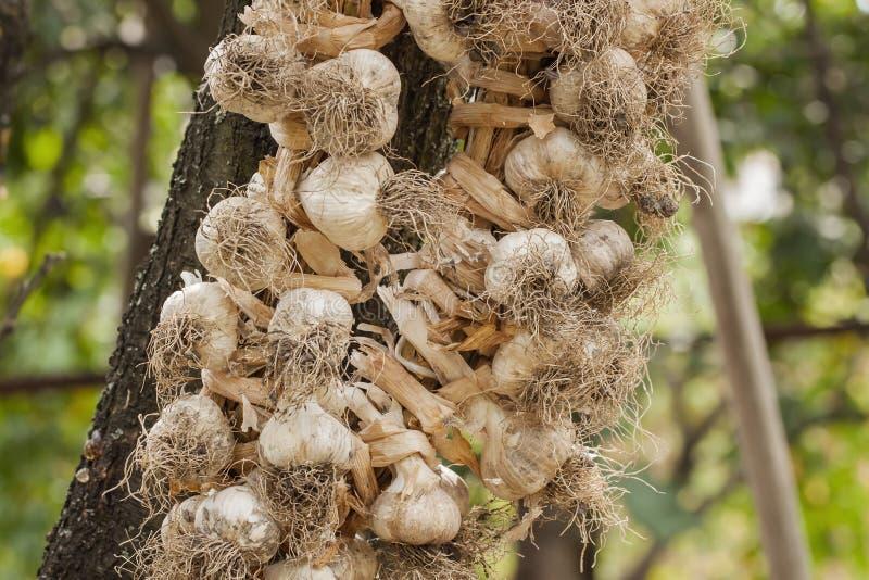 Knoblauch, umsponnene Kränze zwecks ihn bis die folgende Ernte richtig konservieren lizenzfreies stockbild