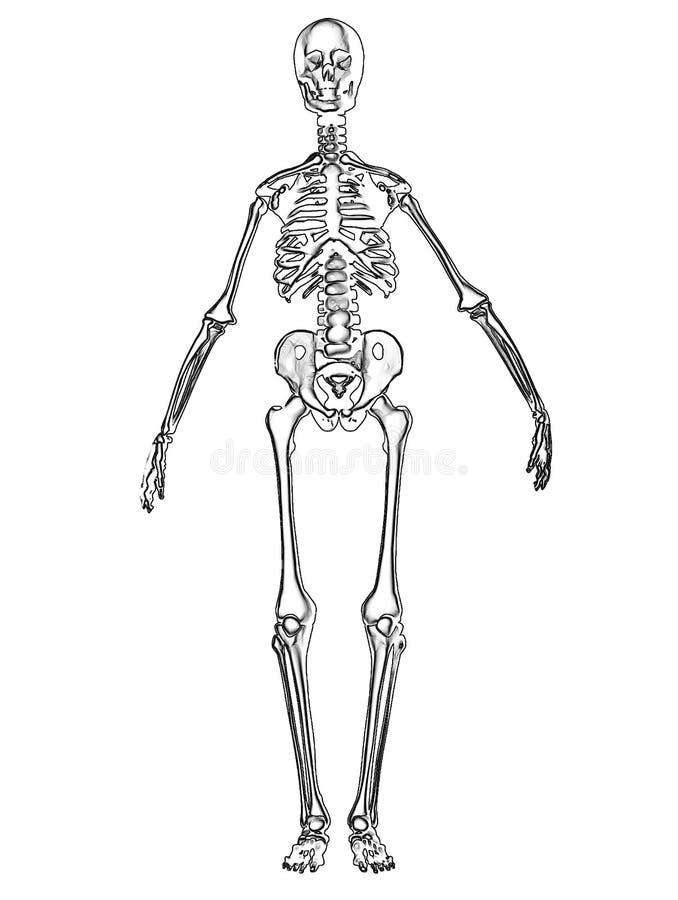Knochen 2 lizenzfreie abbildung