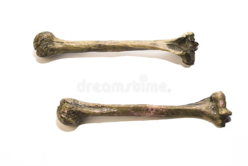 Knochen lizenzfreies stockfoto