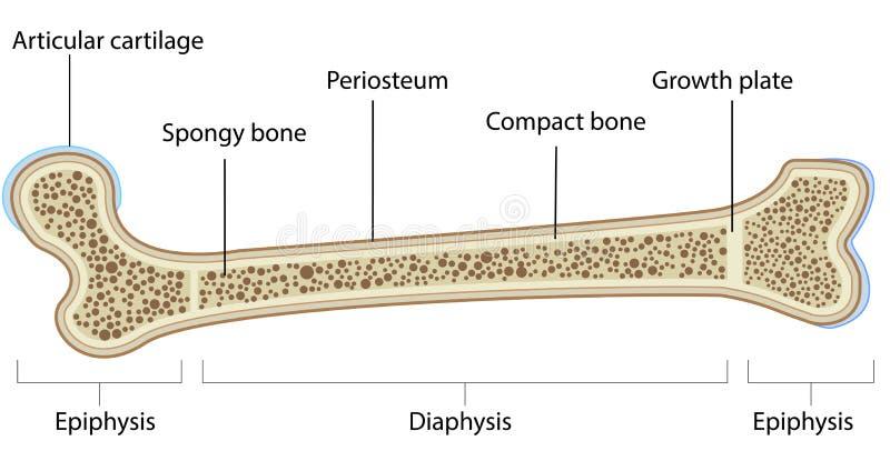 Knochen-Anatomie Beschriftetes Diagramm Vektor Abbildung ...