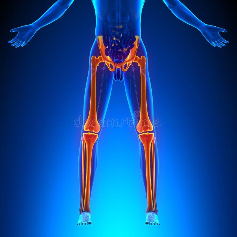 Knochen-Bein-Anatomie stock abbildung. Illustration von abbildung ...