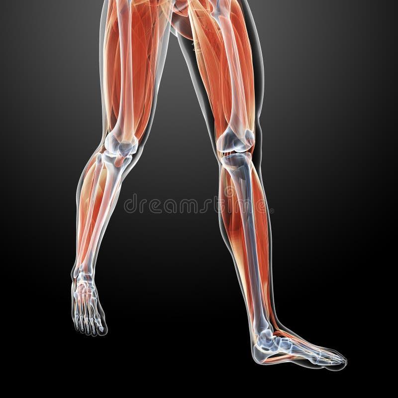 Knochen der Beine stock abbildung. Illustration von anatomie - 34164323