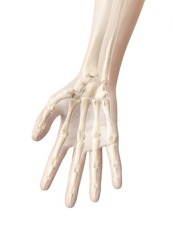 Knochen Der Hand Und Der Finger Stock Abbildung - Illustration von ...