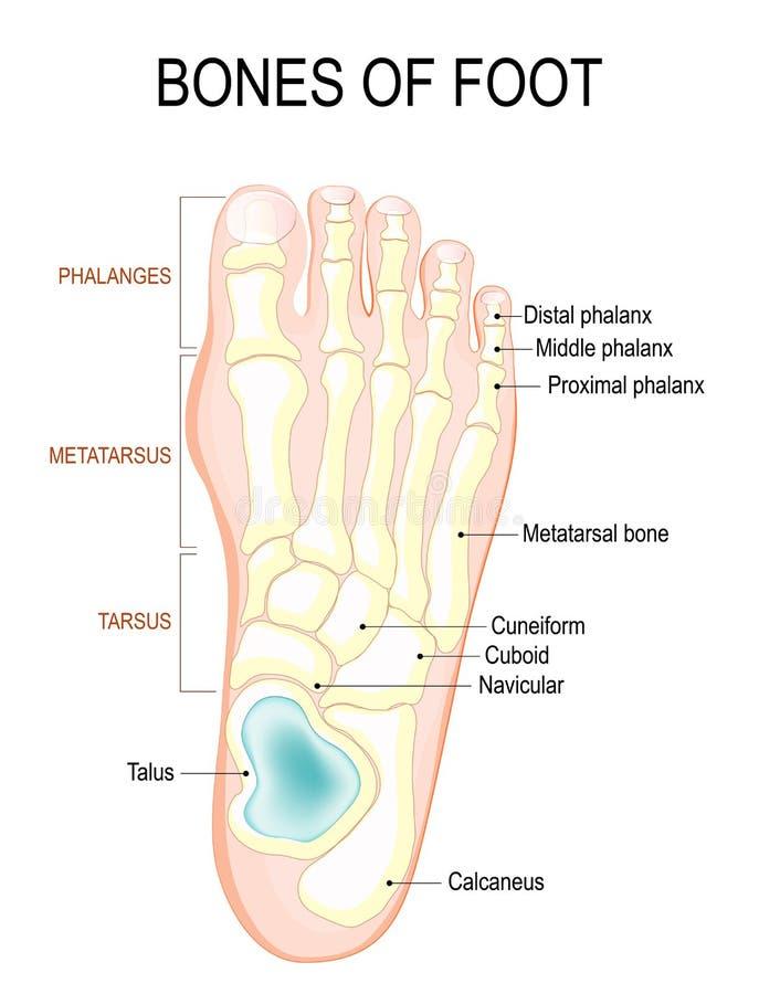 Knochen des Fußes vektor abbildung. Illustration von abbildung ...