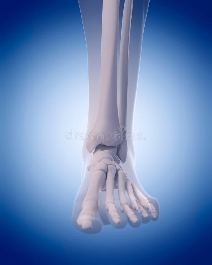Knochen des Fusses stock abbildung. Illustration von wadenbein ...