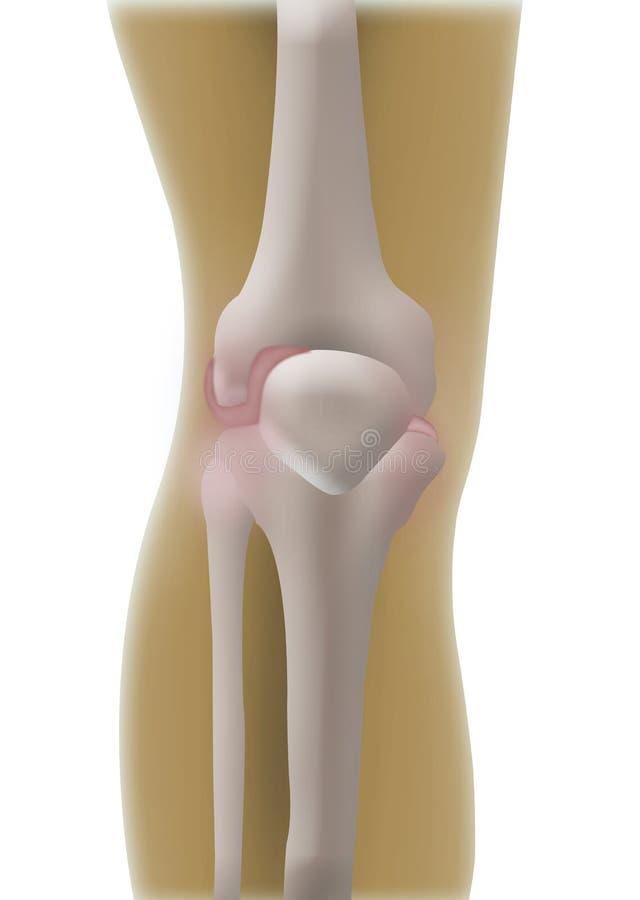Knochen-Knie vektor abbildung