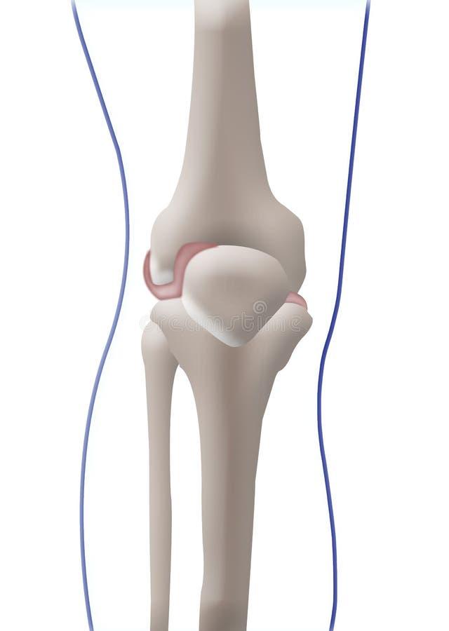Ziemlich Knie Knochen Galerie - Menschliche Anatomie Bilder ...