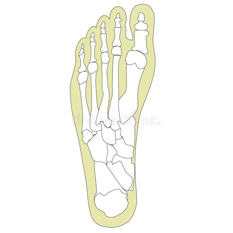 Knochen In Seinem Fuß #1 #1 Stock Abbildung - Illustration von ...