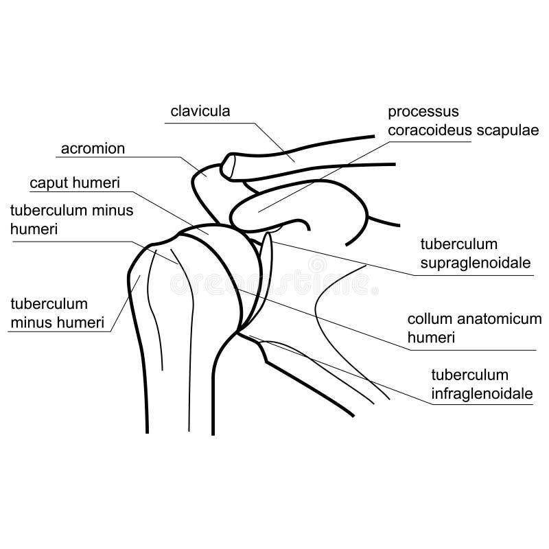 Knochenstruktur des Schultergelenkes vektor abbildung