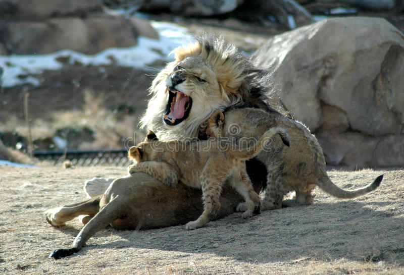 Download Knock it off! lion family stock image. Image of anger - 21114327