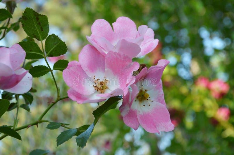 Knock-out Rose Flower Group, rosa lizenzfreie stockfotos