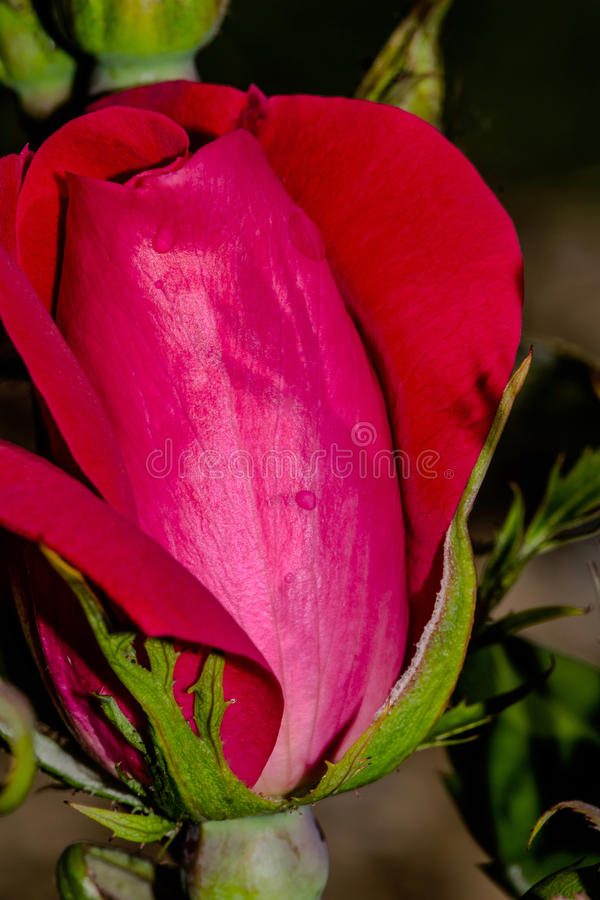 Knock-out Rose Shadow stockfoto