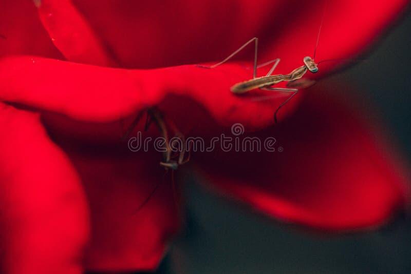 Knockout τριαντάφυλλα στοκ φωτογραφία με δικαίωμα ελεύθερης χρήσης