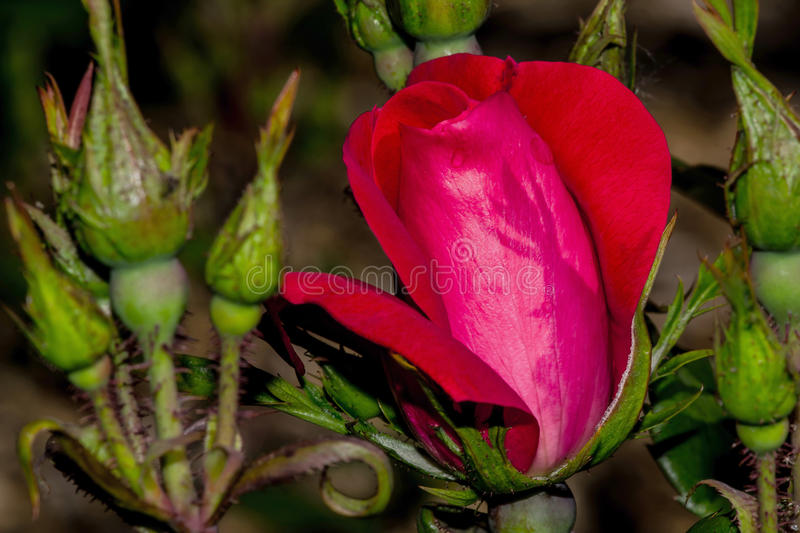 Knockout Rose Flower Bud Shadow. Shadow reflects off Knockout Rose flower bud stock photos