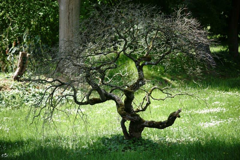 Knoestige bonsaiboom royalty-vrije stock afbeelding