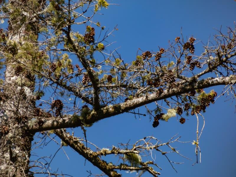 Knoestige boomstam van boom met mos en denneappels stock foto