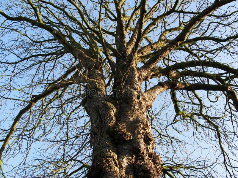 Knoestige en geknoopte Willow Tree in de winter - lage hoek die het kijken opleggen stock afbeeldingen