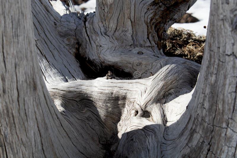 Knoestige houten textuur in zadel van een dode boom royalty-vrije stock fotografie