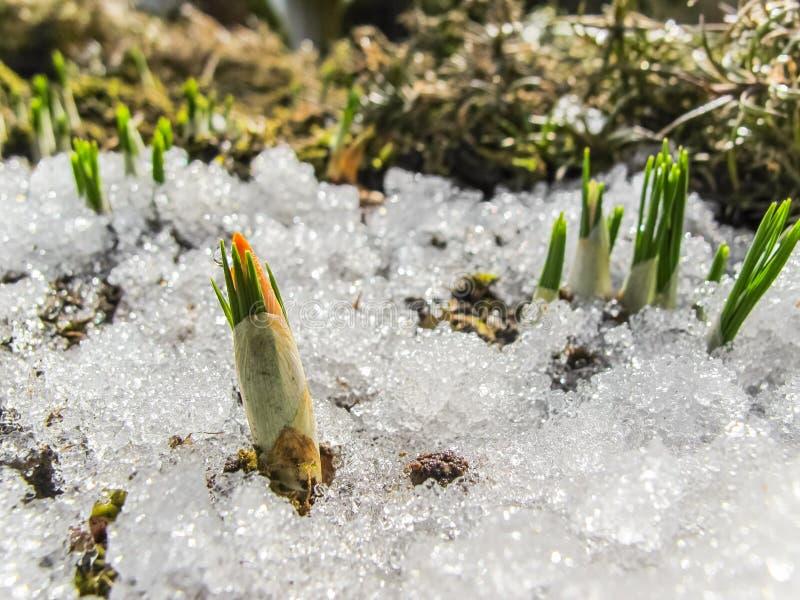 Knop van de eerste krokus van onder de sneeuw in de de lentetuin stock fotografie