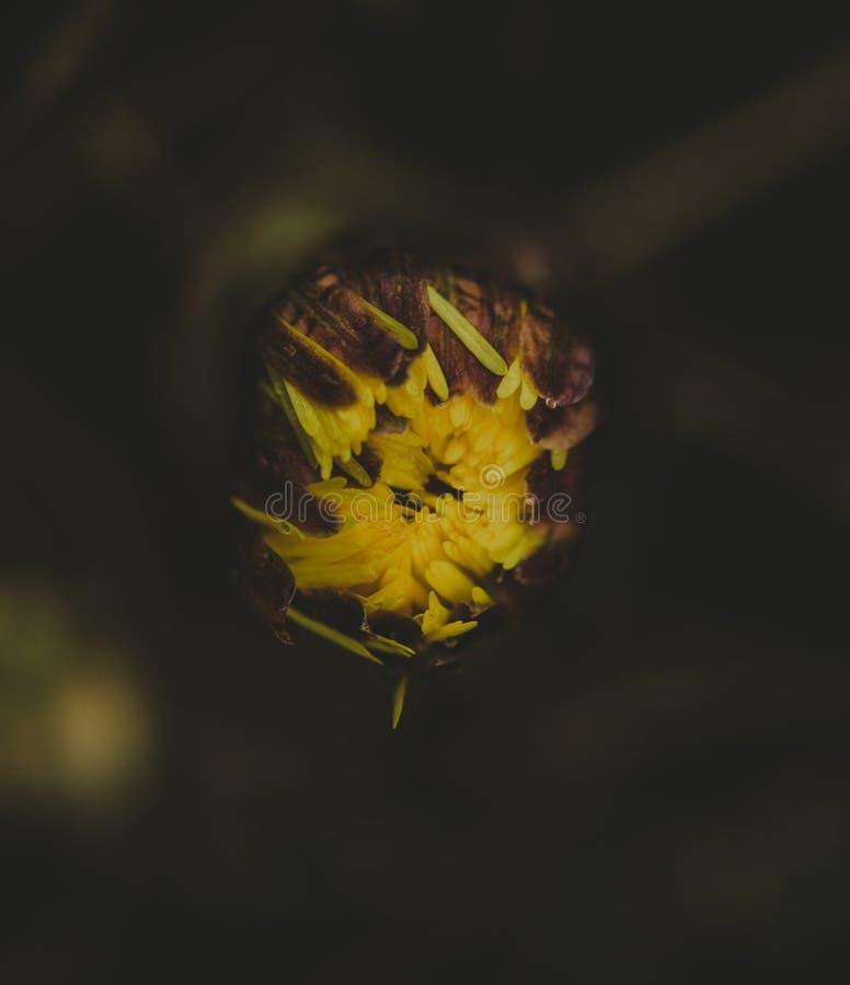 Knop van een coltsfoot stock foto