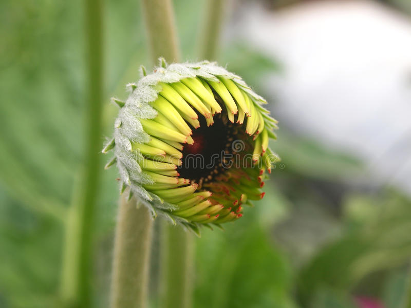 Knop van Gerbera-bloem stock afbeelding