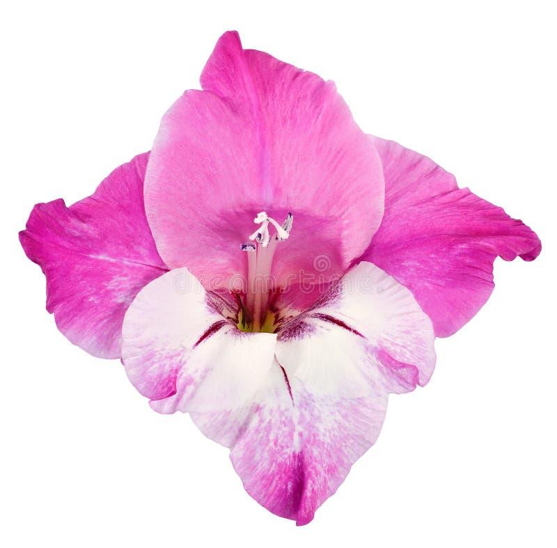 Knop van gladiolenrood, roze en wit royalty-vrije stock foto