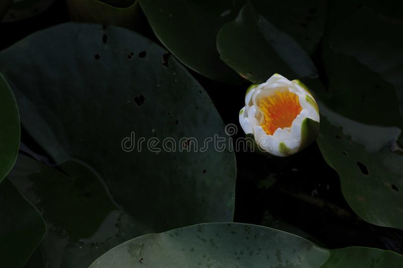 Knop-water lily~Lotusschoonheid stock afbeelding