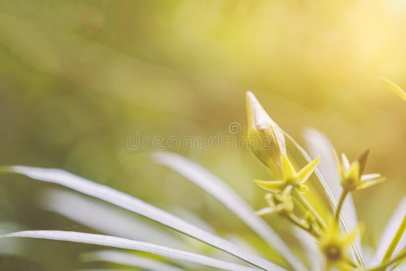 Knopp för blomma för gul oleander för Closeup och små gröna sidor med gul solljus- och defocusbokehbakgrund arkivbild