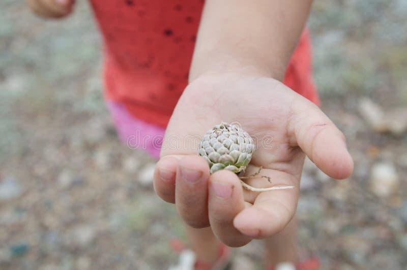 Knopp för blomma för växt för barnhandinnehav av stäppen ung naturalist i undersökande flora för natur arkivfoton