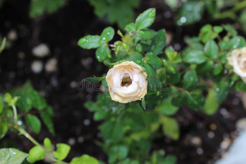 Knopp f?r vita blommor arkivfoton