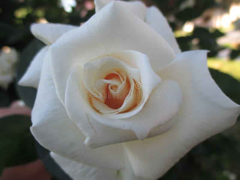 Knopp som blommar vita rosor royaltyfria bilder